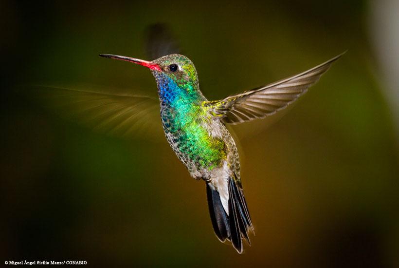 colibri_miguel