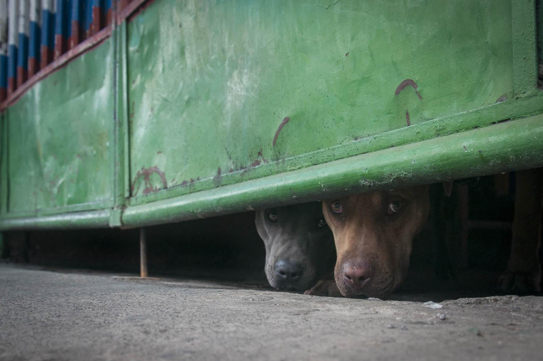 MÉXICO, D.F., 15MAYO2015.- La mirada tímida de dos perros asomados desde su casa atestiguan el tránsito callejero cotidiano de la delegación Xochimilco. Foto: Diego Simón Sánchez /Cuartoscuro.com
