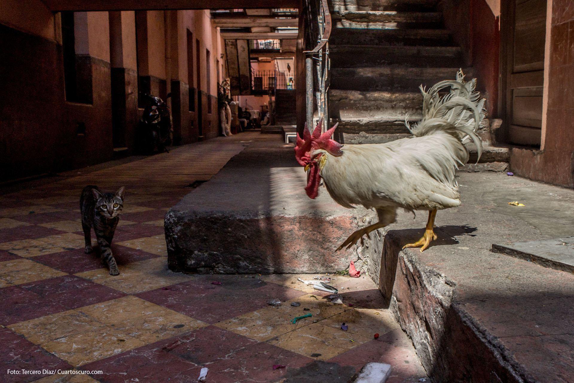 CIUDAD DE MÉXICO, 29MARZO2018.- Un gallo y un gato interactúan en una vecindad del Centro Histórico de la capiutal. FOTO: TERCERO DÍAZ /CUARTOSCURO.COM