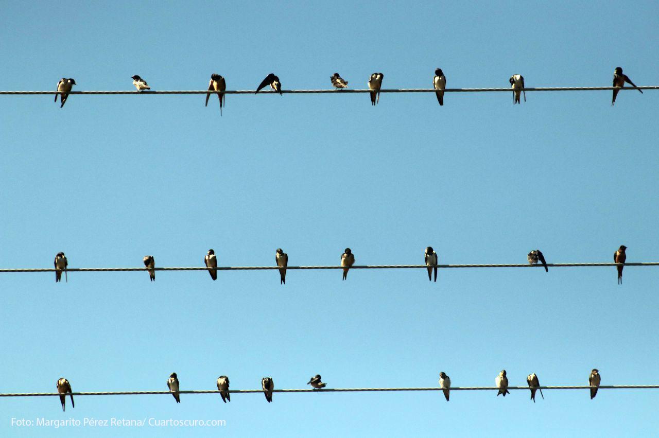 decenas de aves que hacen de la flora su casa. En la imagen aves se posan sobre cables de energía eléctrica. FOTO: MARGARITO PÉREZ RETANA /CUARTOSCURO.COM