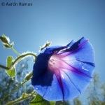 Flor azul al contraluz